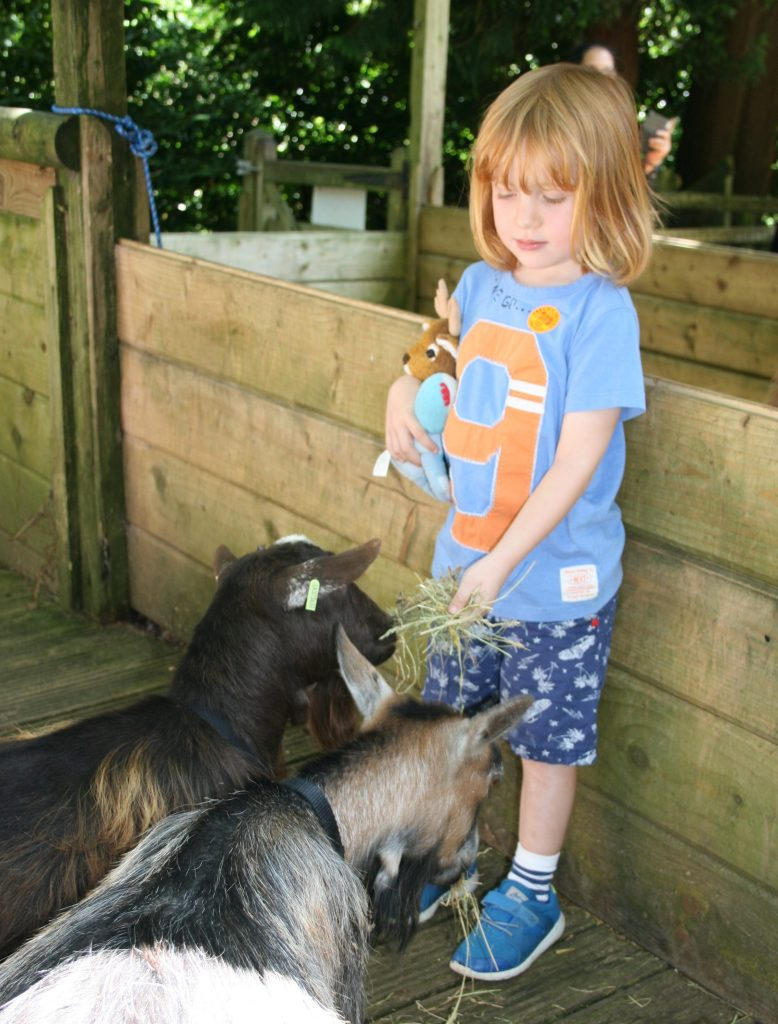 Child feeding goats